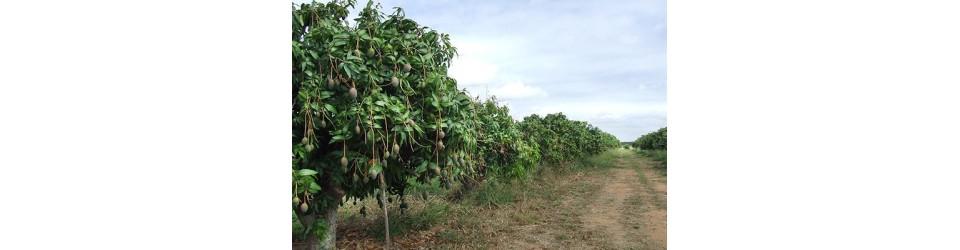 Mango fields